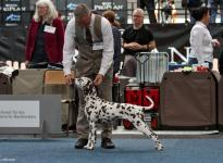 Presentation of the female Dalmatian Dream for ORMOND vom Teutoburger Wald