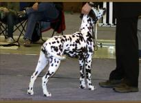 Presentation of male Christi ORMOND Finish Favorite International Show in Dresden 2010 - Puppy Class