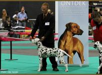 Präsentation des Rüden Christi ORMOND Gallant Galileo Euro Dog Show in Holland 2011 - Jüngstenklasse