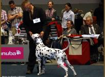 Presentation of male Spotnik `s First Farao For Ormond VDH European Winner Show in Dortmund 2011 - Open Class