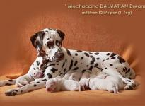 Mochaccino Dalmatian Dream with her Christi ORMOND E - Litter 1st day of life