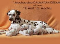 Mochaccino Dalmatian Dream with her Christi ORMOND E - Litter 2nd week of life