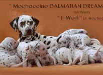 Mochaccino Dalmatian Dream with her Christi ORMOND E - Litter 3rd week of life
