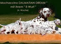 Mochaccino Dalmatian Dream with her Christi ORMOND E - Litter 4th week of life