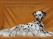 Mochaccino Dalmatian Dream mit ihrem Christi ORMOND F - Wurf 2. Lebenswoche