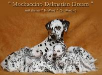Mochaccino Dalmatian Dream with her Christi ORMOND F - Litter 3rd week of life