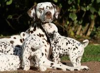 Mochaccino Dalmatian Dream with her Christi ORMOND F - Litter 4th week of life