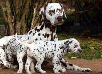 Mochaccino Dalmatian Dream mit ihrem Christi ORMOND F - Wurf 5. Lebenswoche