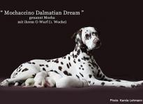 Mochaccino Dalmatian Dream with her Christi ORMOND G - Litter 1st week of life