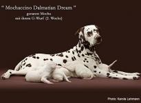 Mochaccino Dalmatian Dream with her Christi ORMOND G - Litter 2nd week of life