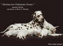 Mochaccino Dalmatian Dream with her Christi ORMOND G - Litter 3rd week of life