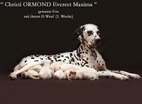 Christi ORMOND Everest Maxima with her Christi ORMOND H - Litter 1st week of life