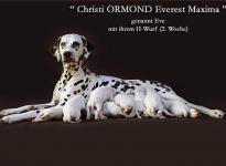 Christi ORMOND Everest Maxima mit ihrem H - Wurf 2. Lebenswoche
