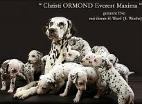 Christi ORMOND Everest Maxima mit ihrem Christi ORMOND H - Wurf 4. Lebenswoche