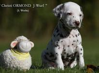 Christi ORMOND J - Wurf 5. Lebenswoche