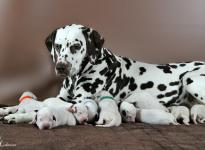 Christi ORMOND First Fairytale with her Christi ORMOND R - Litter 1st week of life