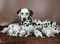 Christi ORMOND First Fairytale with her Christi ORMOND R - Litter 3rd week of life
