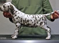 Male, (collar brown), colour white - liver, bilateral hearing