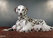 Christi ORMOND Immortal Soul with her Christi ORMOND X - Litter 2nd week of life