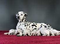 Christi ORMOND Real Diamond with her Christi ORMOND Y - Litter 3rd week of life
