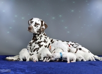 Dalmatian Dream for ORMOND vom Teutoburger Wald (genannt Mocha Junior) mit ihrem Christi ORMOND Z - Wurf 2. Lebenswoche