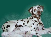 Mochaccino Dalmatian Dream wtih her Christi ORMOND C - Litter 1st week of life