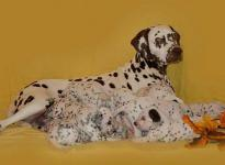 Mochaccino Dalmatian Dream with her Christi ORMOND C - Litter 3rd week of life