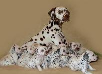 Mochaccino Dalmatian Dream with her Christi ORMOND C - Litter 4th week of life