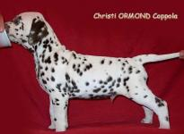 Stays in the kennel Christi ORMOND Dalmatian