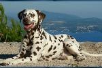 Mochaccino Dalmatian Dream