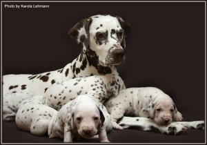 Our main breed bitch Mochaccino Dalmatian Dream (import from Croatia)