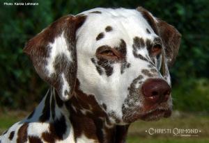Internationaler Champion Mochaccino Dalmatian Dream (genannt Mocha)