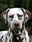 Dalmatian Dream for ORMOND vom Teutoburger Wald