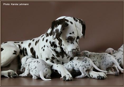Oma Mochaccino Dalmatian Dream (genannt Mocha) zu Besuch bei ihren Enkeln