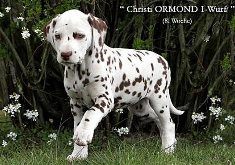 Christi ORMOND I - Wurf 8. Lebenswoche