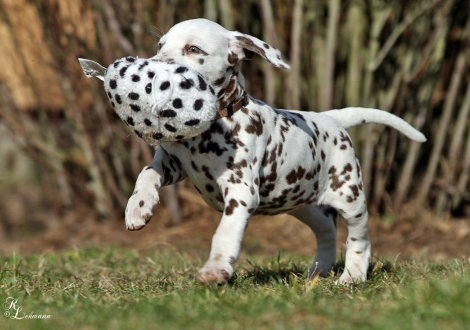 Christi ORMOND Viva La Bamba | female, colour white - liver (collar brown)