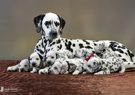 Christi ORMOND Queen of Adventure with her puppies 3rd week of life