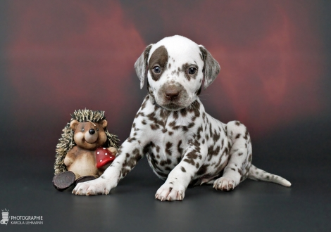 Male, (collar gray), colour white - liver | Looking for a loving home