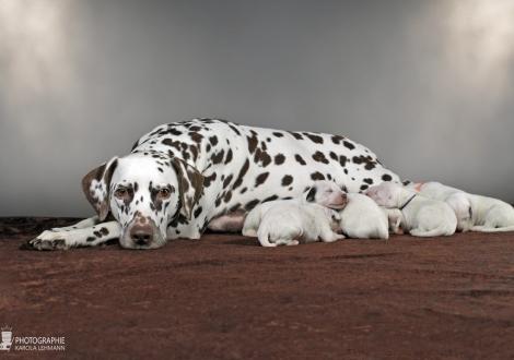 Dalmatian Dream for ORMOND vom Teutoburger Wald (genannt Mocha Junior) mit ihrem Christi ORMOND Z - Wurf 1. Lebenswoche