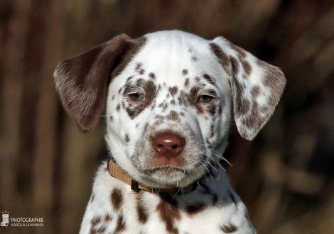 Christi ORMOND Zoom Closer, Male | colour white - liver (collar beige)