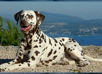 Wir nehmen Abschied von Mochaccino Dalmatian Dream