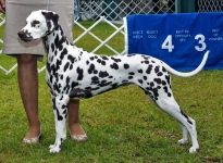 Christi ORMOND Unconditional Love for McGlade Dalmatians age 12 month