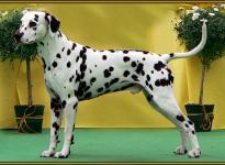 Stud dog Lacrima Christi Cro A Porter