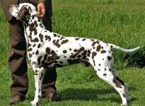 Stud dog Christi ORMOND Coppola