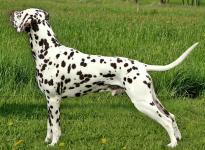 Stud dog Christi ORMOND Exquisite Selection