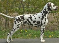 Stud dog Christi ORMOND European Illusion
