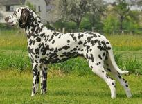 Stud dog Christi ORMOND Fascination Feeling