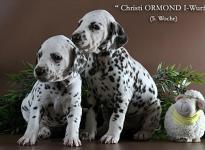 Christi ORMOND I - Litter 5th week of life