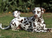 Links Christi ORMOND Uptown Girl und rechts Dalmatian Dream for ORMOND vom Teutoburger Wald
