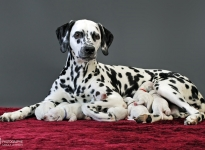 Christi ORMOND Queen of Adventure with her puppies 1st week of life